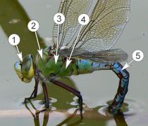 Внешнее строение насекомых - Строение груди на примере стрекозы