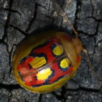 Окраска насекомых - Разноцветный листоед