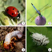Окраска насекомых - Пигментная окраска