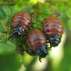 Окраска насекомых - Личинки колорадского жука