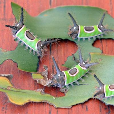 Окраска насекомых - Ядовитая гусеница Sibine stimulea