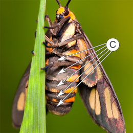 Стернит - Стерниты у бабочки