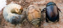 Имаго - Развитие жука-навозника:</p> личинка – куколка – имаго