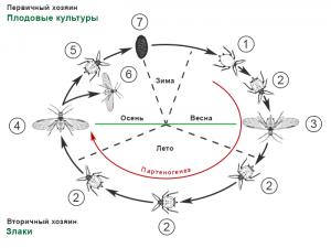 Тли (Тля) – особенности морфологии и жизненных циклов - Фенология развития яблонно-злаковой тли