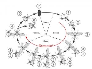 Тли (Тля) – особенности морфологии и жизненных циклов - Фенология развития Злаковой тли