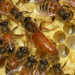 Партеногенез - Медоносная пчела. Матка кладет яйца.