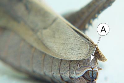 Анальная пластинка (эпипрокт) - Анальная пластинка у кузнечика