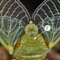 Генитальная пластинка - Генитальная пластинка у цикады
