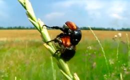 Хлебные жуки - Жук-кузька хлебный