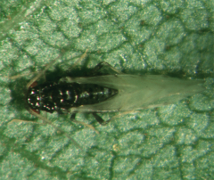 Самец тли - Самец черной пекановой тли </p>(Melanocallis caryaefoliae)