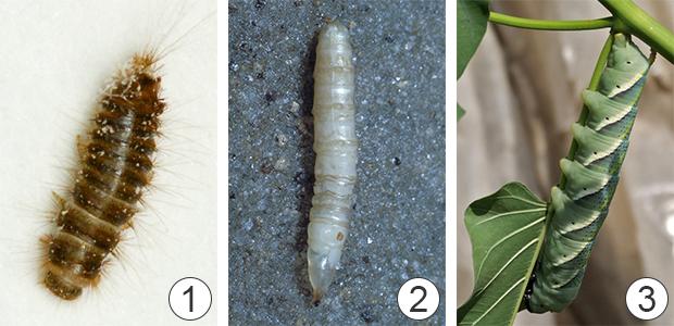 Личинка - Типы личинок