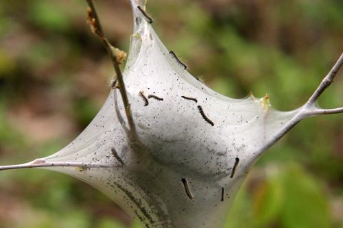 Личинка - Гнездо гусениц непарного шелкопряда