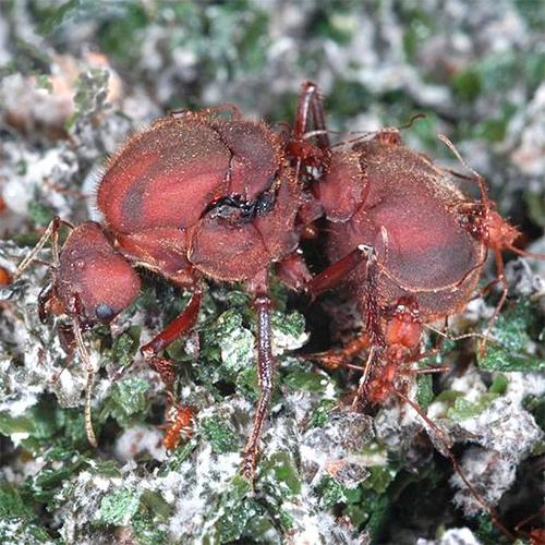 Имаго - Самка муравья-листореза