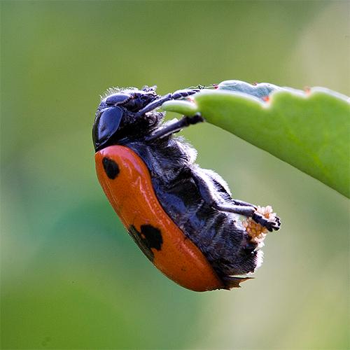 Имаго - Размножение – главная функция имаго