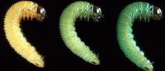Диапауза - Цветовые формы диапаузирующих гусениц</p>Cephalcia abietis