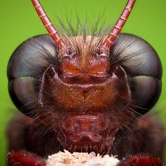Омматидий - Сложные глаза у мухи