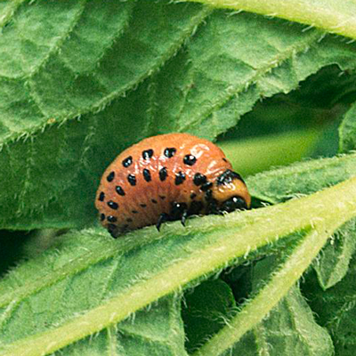 Ларвицид - Объект действия хлорантранилипрола: </p>личинка колорадского жука