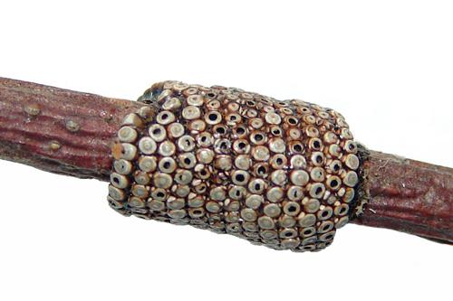 Овицид - Яйца кольчатого шелкопряда – </p>объект действия овицидов