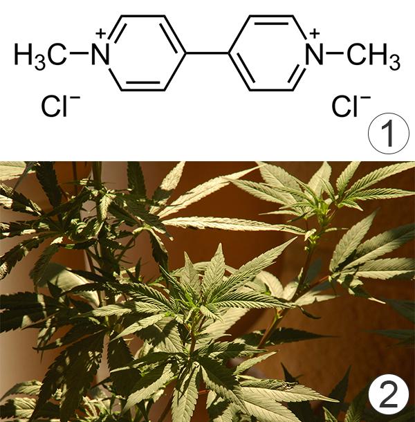 Гербицид - Метилвиологен – враг марихуаны
