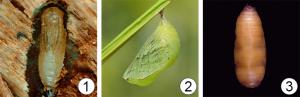 Куколка насекомых - Типы куколок
