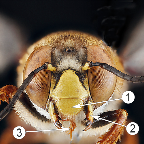 Ротовые органы насекомых - Верхняя губа