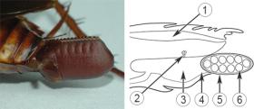 Оотека - Строение оотеки таракана