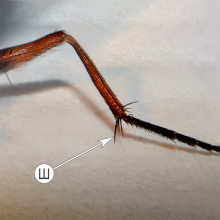 Хеты - Шпоры на ноге у мухи