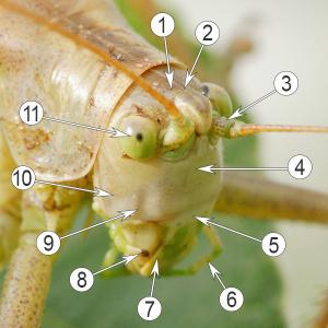 Голова насекомого - Строение головы насекомого