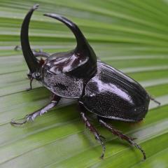 Кожа насекомых. Производные кожи - Рога – средство защиты жука-носорога