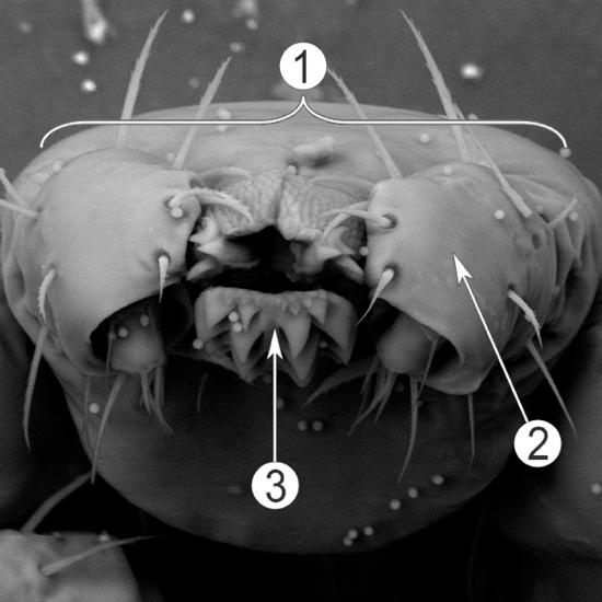 Внешнее строение клещей - Гнатосома. Макрофотография.