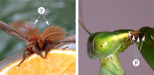 Голова насекомого - Придатки головы