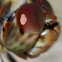 Сложные или фасеточные глаза - Внешнее строение глаза насекомого. Фасетка.