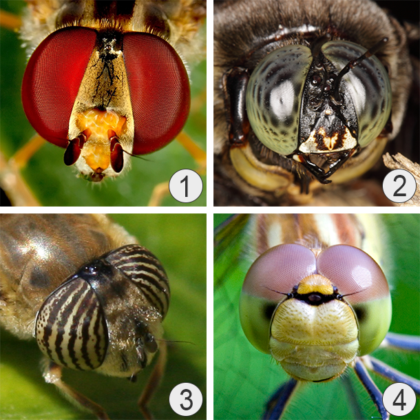 Сложные или фасеточные глаза - Окраска глаз насекомых