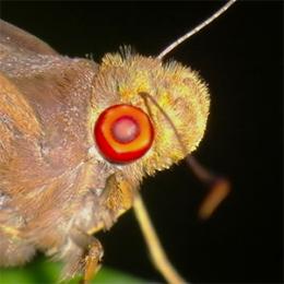 Сложные или фасеточные глаза - Свечение глаз у ночной бабочки