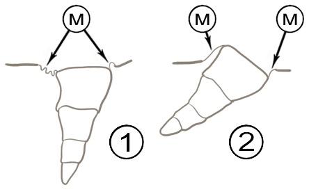 Мембранное соединение склеротов - Сочленение ноги с телом