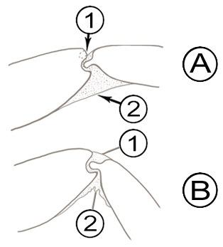 Мембранное соединение склеротов - Сочленение типа