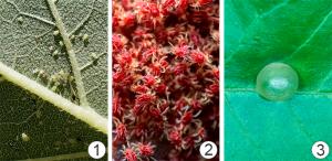 Трансламинарный эффект -  «Цели» пестицидов с трансламинарной активностью