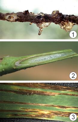 Бактерицид - Бактериальные заболевания растений
