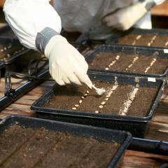 Фунгицид - Внесение почвенного фунгицида </p>при лабороторном посеве фасоли