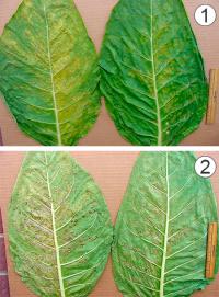 Фунгицид - Повреждение листьев</p> табака азоксистробином