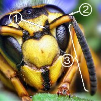 Усики насекомых - Строение усиков