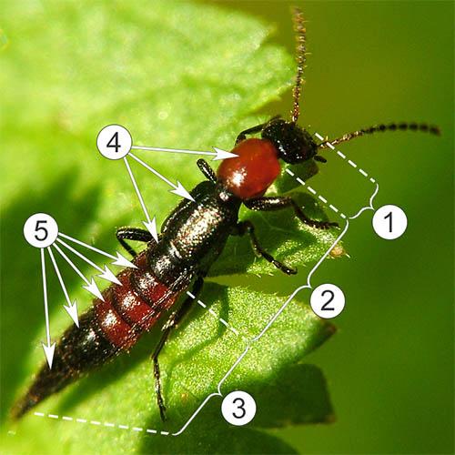 Внешнее строение насекомых - Части тела и его сегментация на примере Paederus dermatitis