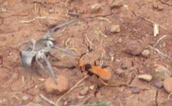 Осы - Охота осы на паука