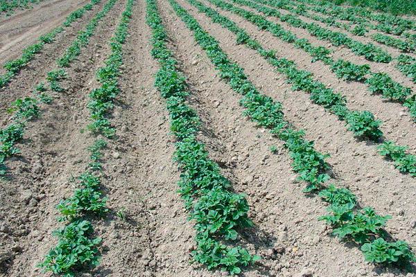 Припосевное внесение - Растение потребляет вещества, </p>внесенные в почву при посеве