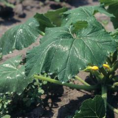 Контактный пестицид - Листья тыквы, обработанные фунгицидом