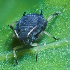 Системный пестицид - Сосущие насекомые – основной </p>объект действия системных пестицидов