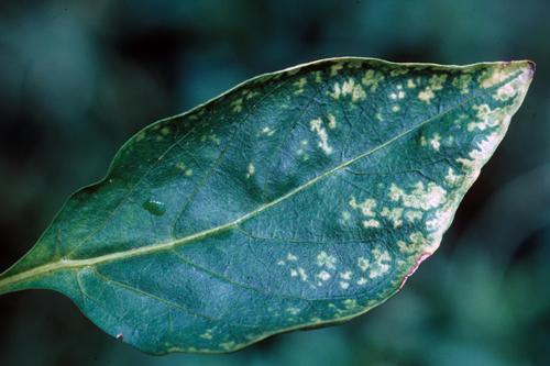 Системный пестицид - Повреждение листьев перца мефеноксамом