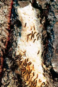 Кишечный пестицид - Только что вылупившиеся личинки – </p>первая уязвимая стадия </p>для кишечных пестицидов