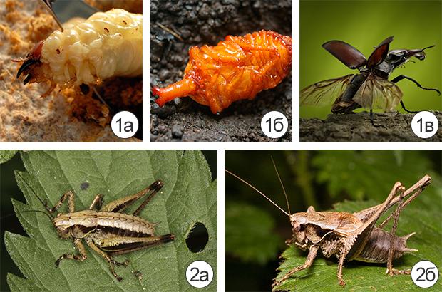 Превращение (метаморфоз) насекомых - Превращение насекомых