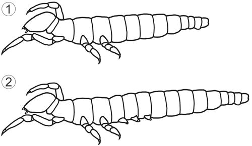 Превращение (метаморфоз) насекомых - Бессяжковые, схема превращения (анаморфоз)